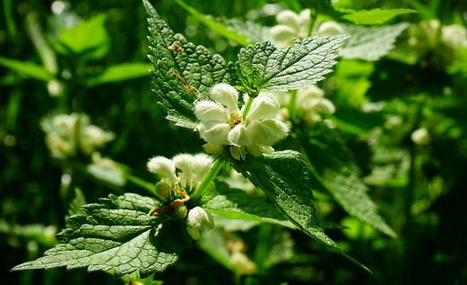 Свойства растения яснотка