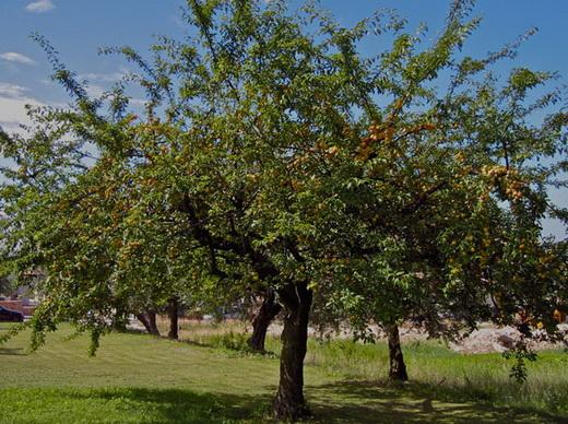 Обрезка абрикоса осенью