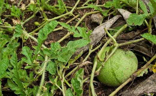 Растущие плоды арбуза