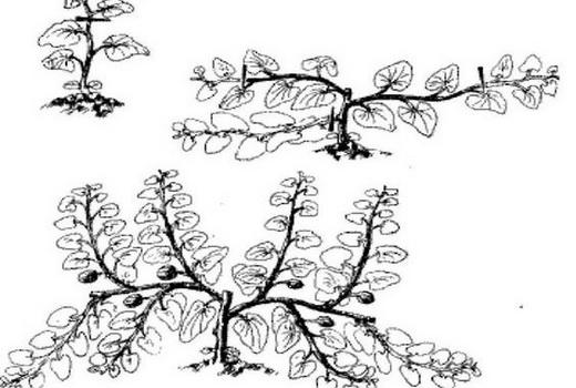 Выращивание тыквы прищипывание 12