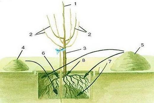 Выращивание черешни на дачном участке