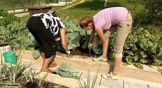 Окучивание белокочанной капусты