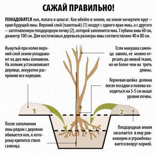 Как посадить вишню правильно