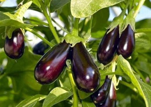 Зрелые плоды баклажанов в открытом грунте