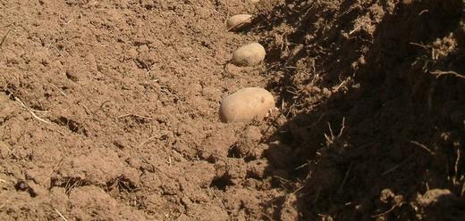 Посадка картофеля рядами