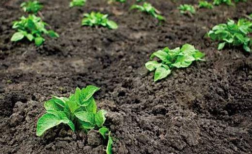 Посадка картофеля в ямки