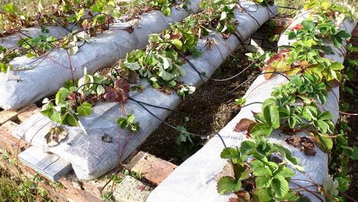 Мешки для выращивания клубники