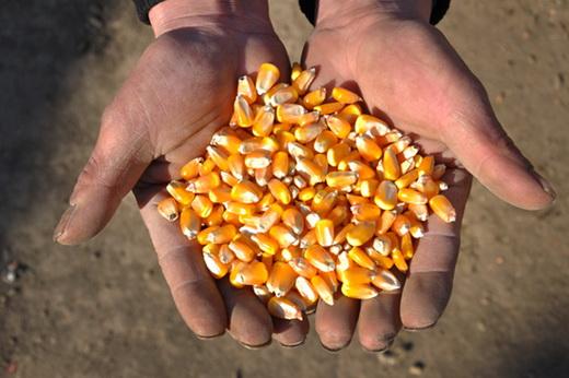 Семена кукурузы для выращивания