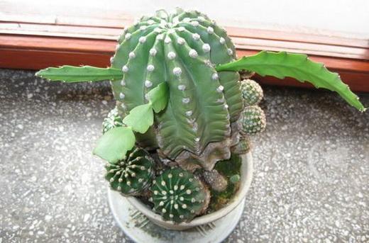 Прививка кактуса