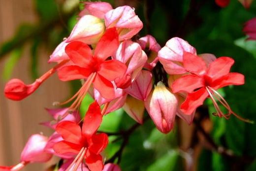Растение Клеродендрум
