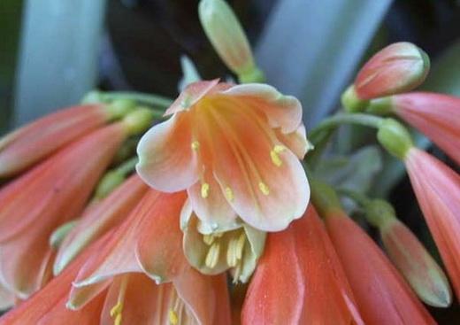 Кливия Цитрантоцветковая