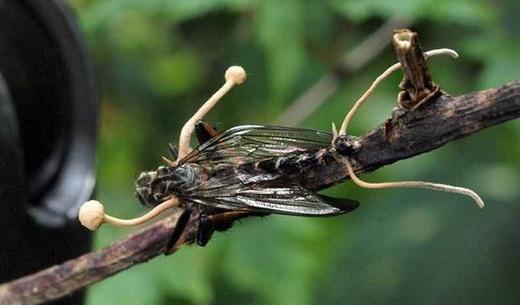 Натуральный гриб кордицепс тяньши