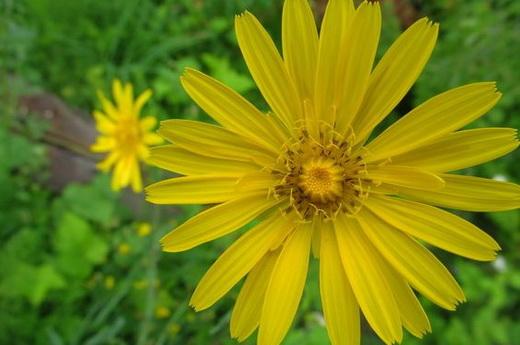Растение козлобородник
