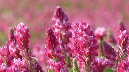 Растение красный корень