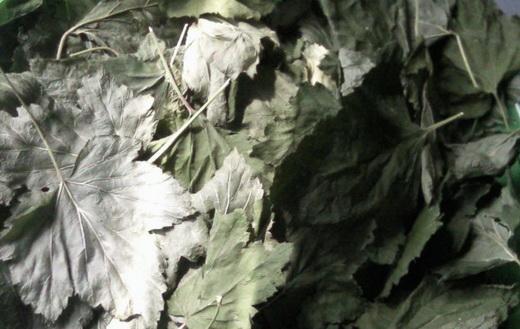 Листья смородины для сушки