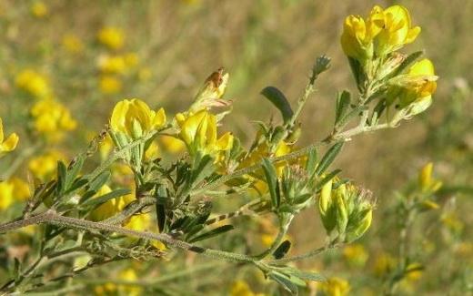 Растение люцерна