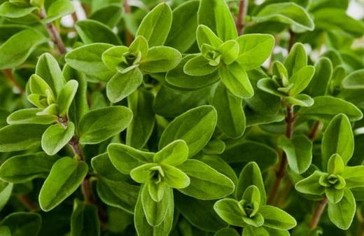 Свойства растения майоран