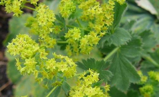 Трава Манжетка - лечебные свойства и противопоказания, Применение травы манжетки обыкновенной