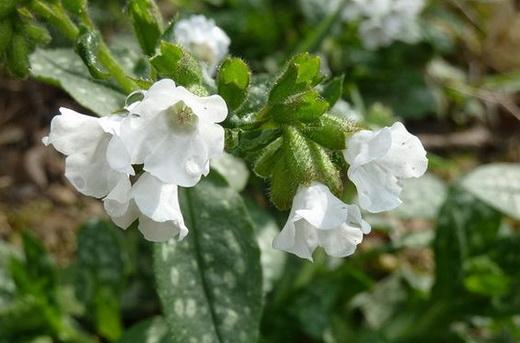 Растение медуница лекарственная