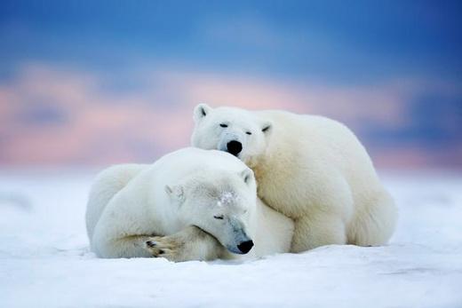 Медведь полярный