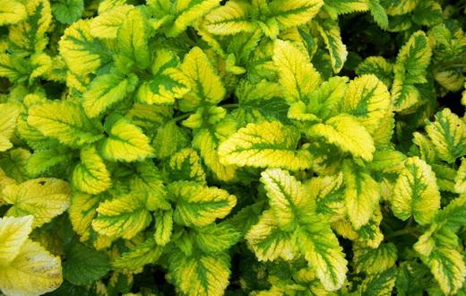 Мелисса фото растения