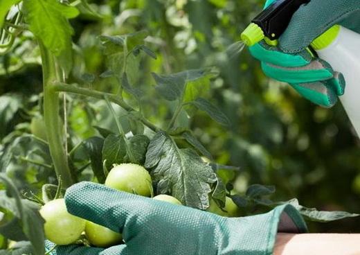 Обработка помидоров от вредителей