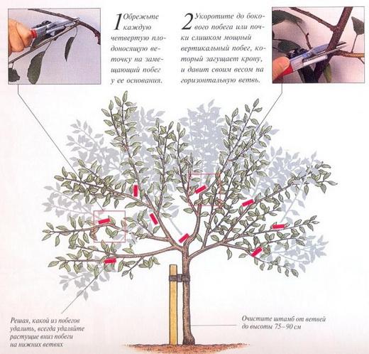 Схемы обрезки черешни