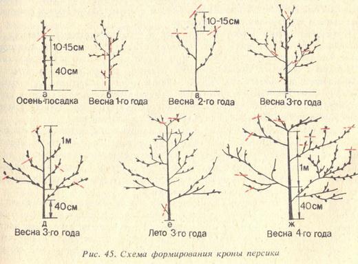 Обрезка персика осенью схема