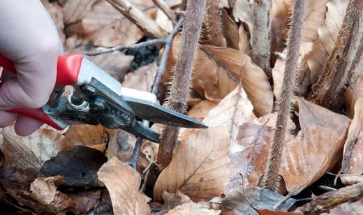 Как правильно обрезать ремонтантную малину