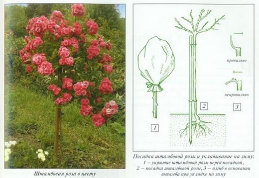 Обрезка розы осенью в открытом грунте