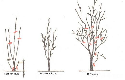 Обрезка сливы весной и осенью для начинающих, Как обрезать сливу - схемы, видео
