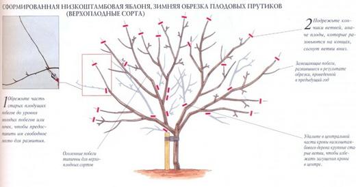 Обрезка старых яблонь для начинающих