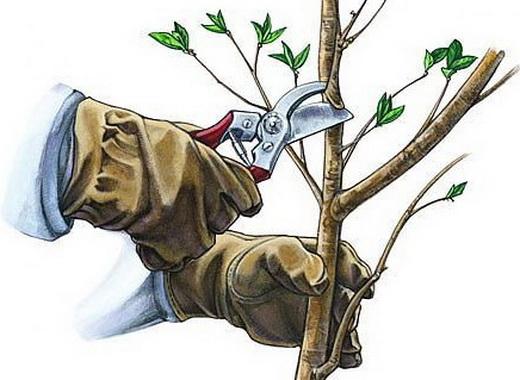 Обрезка вишни осенью схема