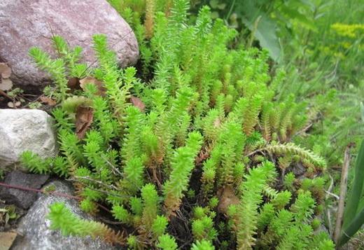 Свойства растения очиток