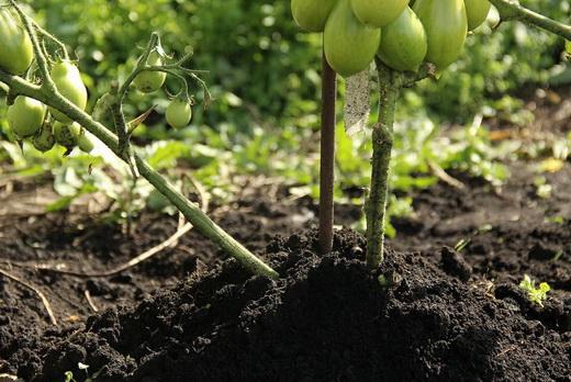 Окучивание помидоров