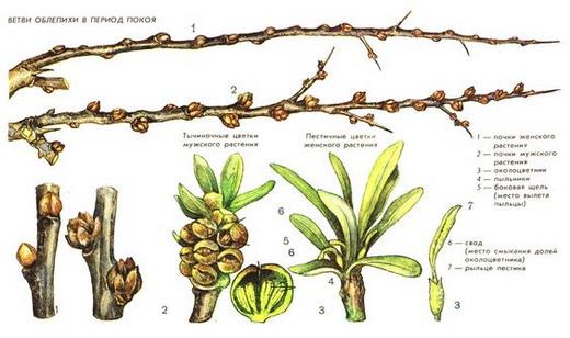 Мужские и женские растения облепихи