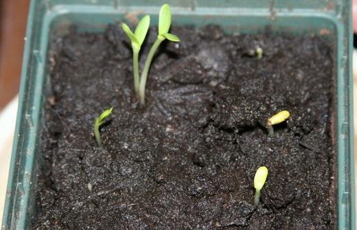 Посадка облепихи семенами
