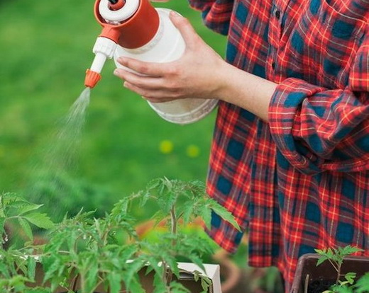 Внекорневая подкормка кустов томатов