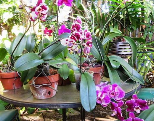 Орхидея в оранжерее