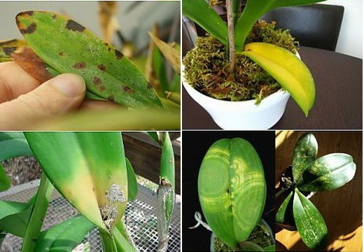 Болезни Орхидеи
