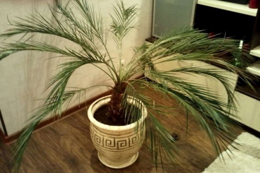 Как ухаживать за пальмой в домашних условиях
