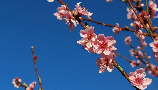 Польза цветков персика