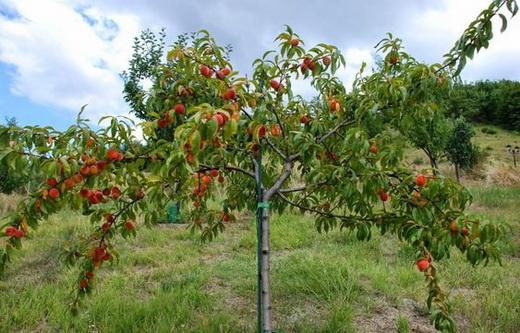 Здоровое персиковое дерево