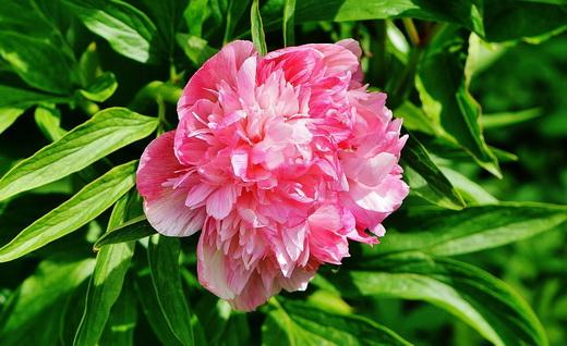 Растение пион