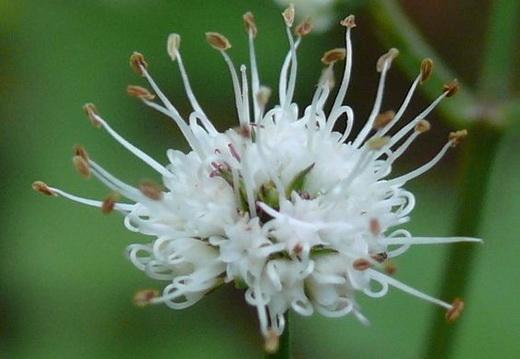 Растение подлесник