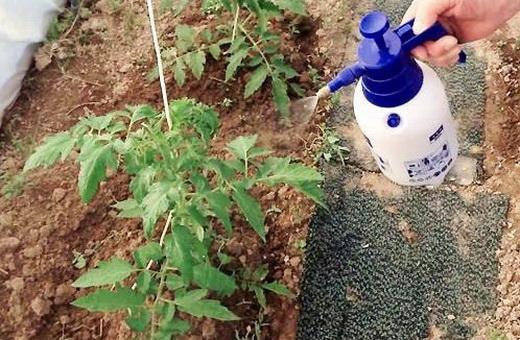 Раствор йода для полива томатов