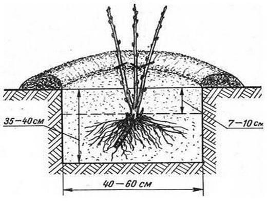 Особенности посадки смородины весной
