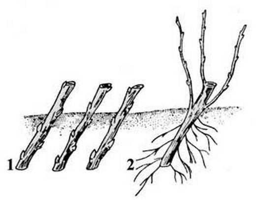 Посадка черенков смородины под наклоном