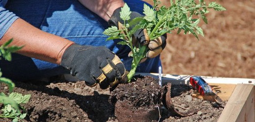 Пересадка рассады томатов в грунт