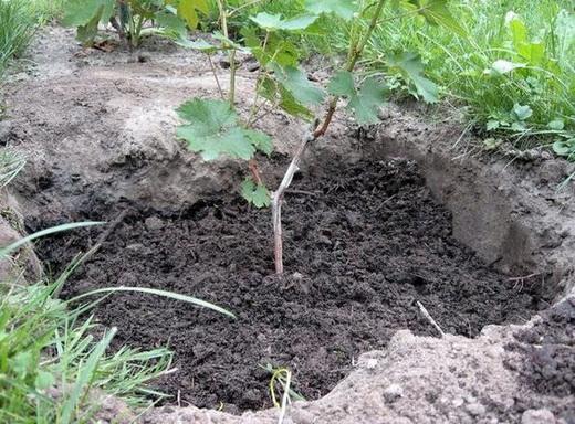 Посадка винограда весной саженцами